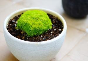 アイリッシュモス(サギナ:もふリッチ)の育て方。鉢に植え替え
