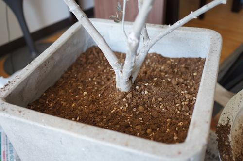 オリーブ植え替えバランス