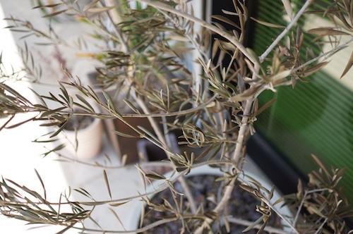 オリーブ枝