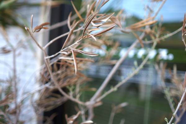 オリーブの葉