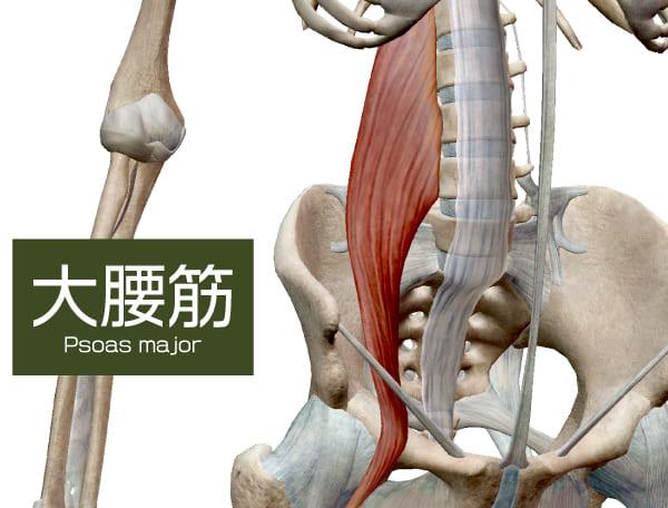 腸腰筋の大腰筋