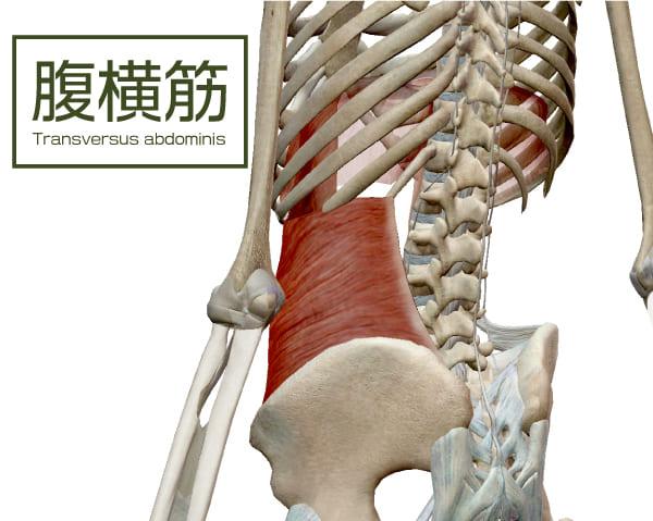 コルセットの様に腰を安定させる筋