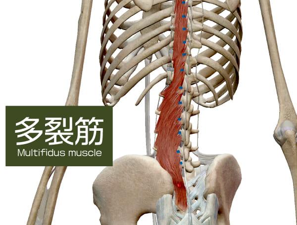 腰椎を前から支える筋肉