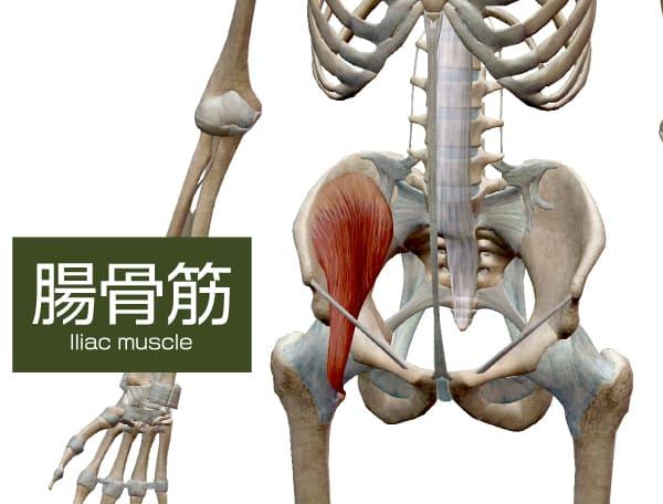 腸腰筋の腸骨筋